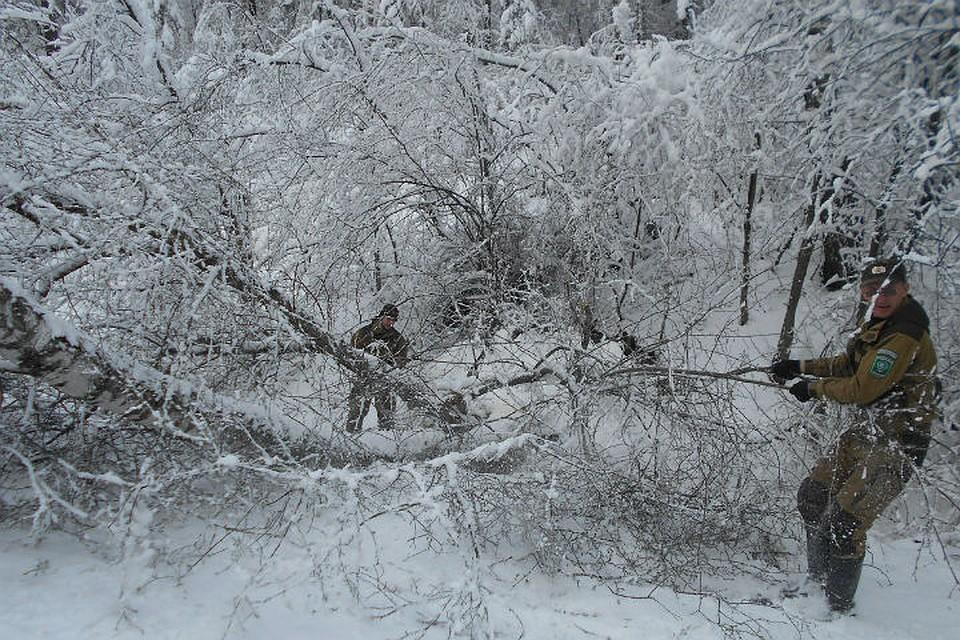 Взаповеднике «Столбы» обильный майский снегопад повалил деревья
