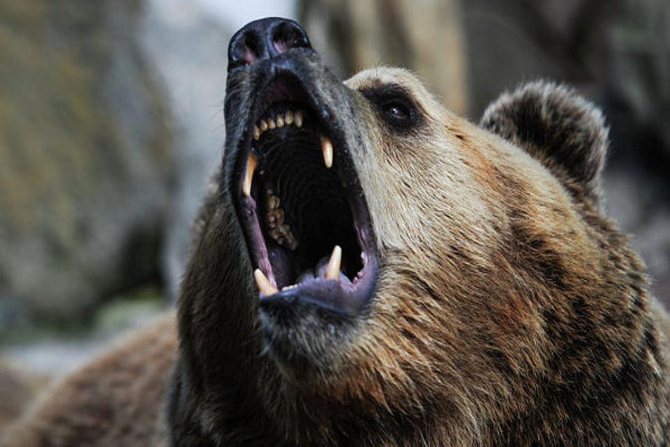На «Столбах» засняли проснувшихся медведей: стояли в20 метрах отчеловека