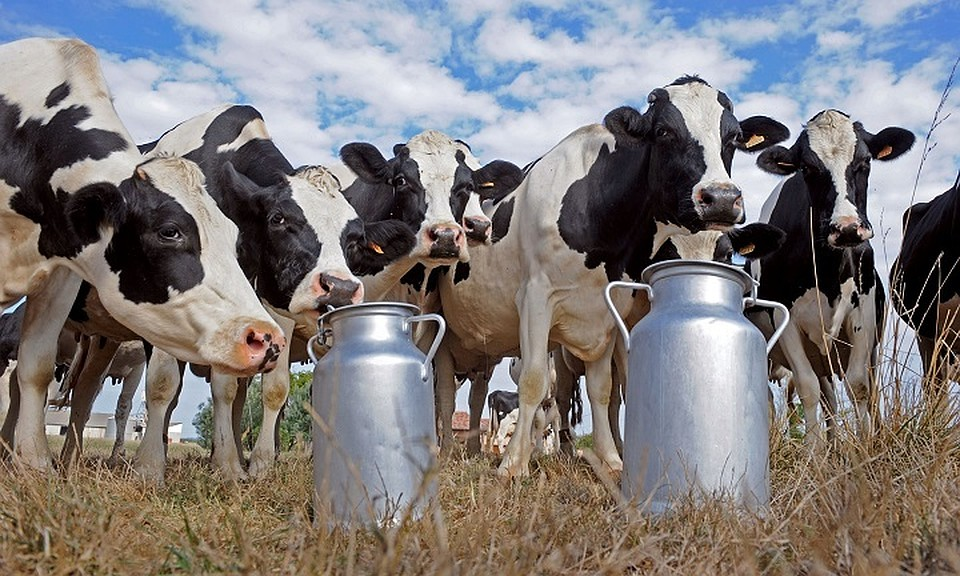 Работники молочной фермы вШарканском районе доставлены вбольницу из-за сальмонеллеза