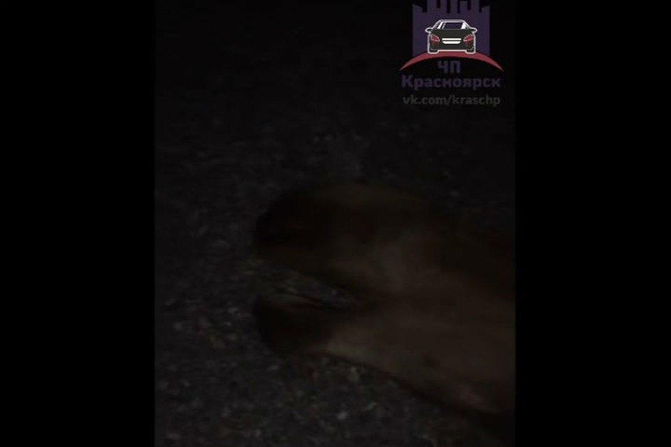 Под Красноярском натрассе насмерть сбили лося: пострадали 4 человека