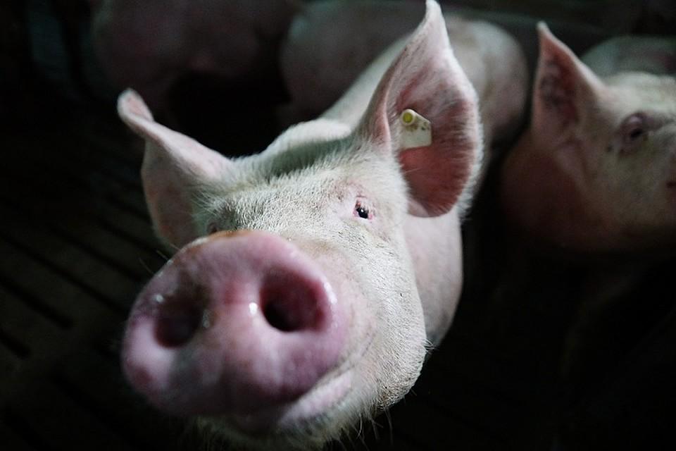 ВВологодской области судят фермера, заразившего успешные районы АЧС