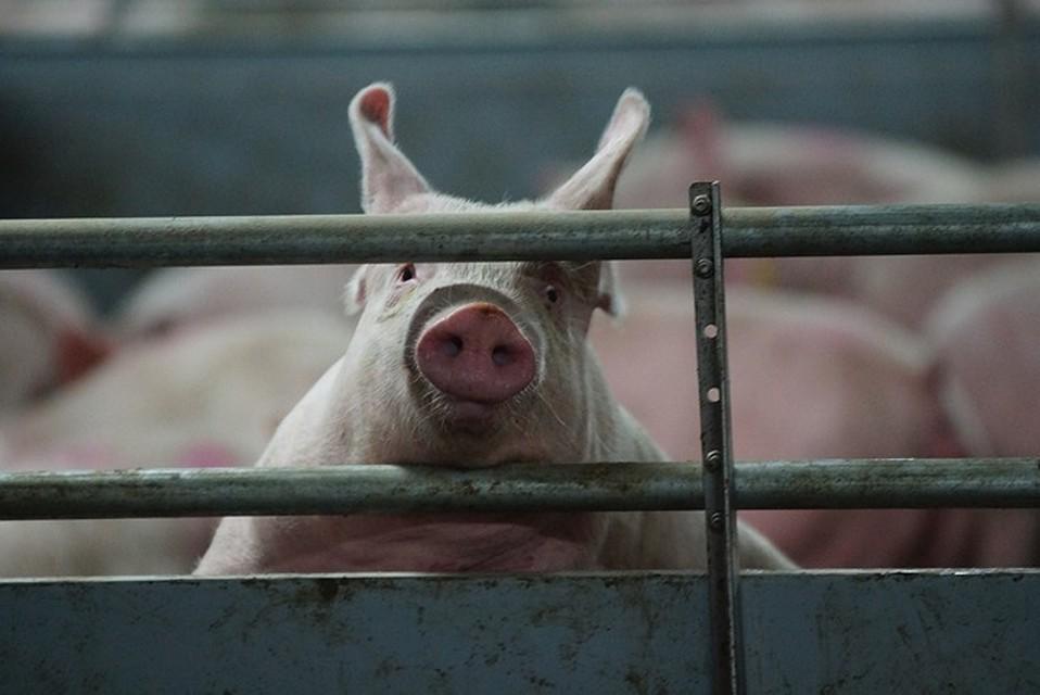 РежимЧС введен вСлавянском районе Кубани из-за африканской чумы свиней