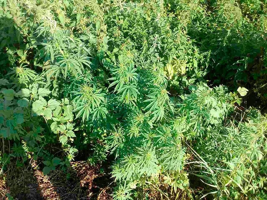 ВВолгоградской области отыскали 17 тыс. кустов «незаконной» конопли