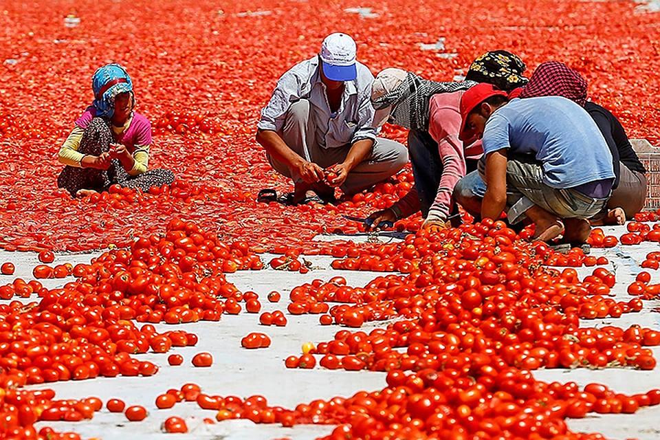 Дворкович: в Российскую Федерацию можно допустить до 50 000 тонн турецких томатов