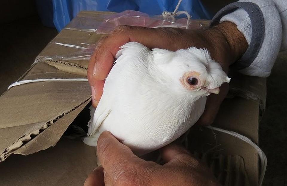 ВКрым непустили украинских голубей сподозрением нагрипп