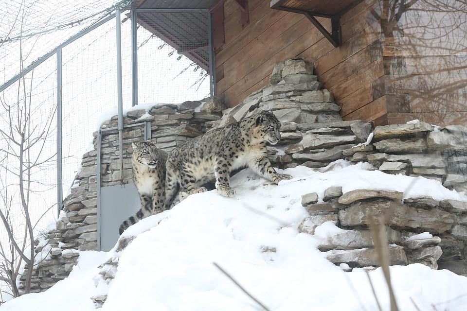 Вказанском зоопарке скончался последний снежный барс