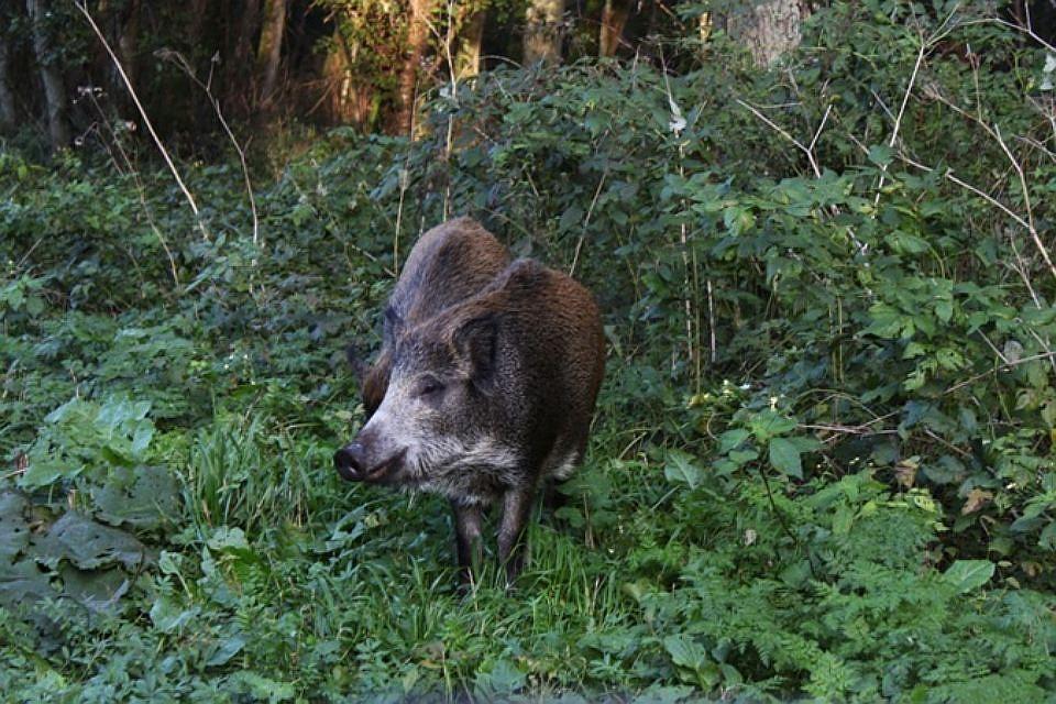 ВГорячем Ключе браконьеры убили самку дикого кабана