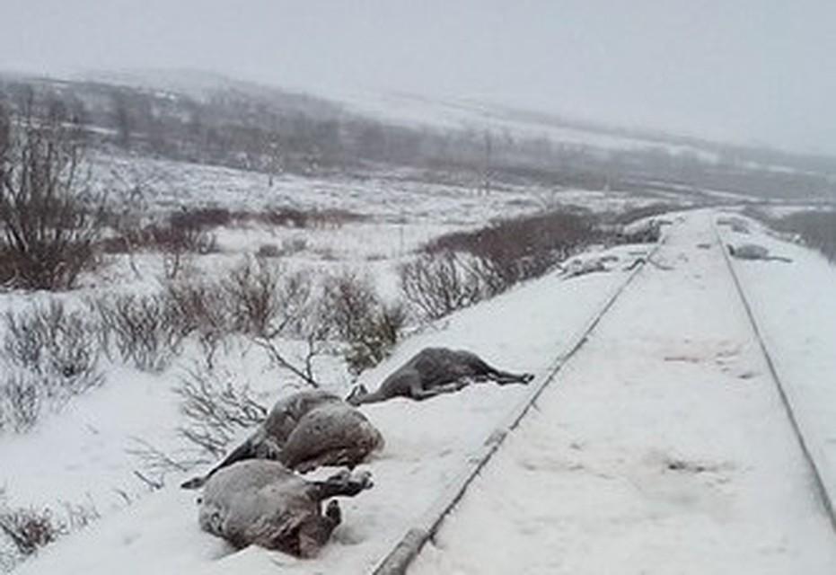 НаЯмале поезд насмерть сбил огромное стадо оленей