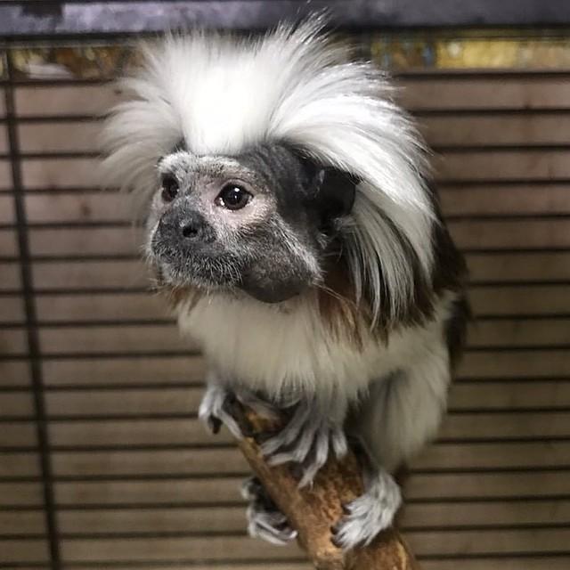Вчелябинском зоопарке поселились эдиповы тамарины