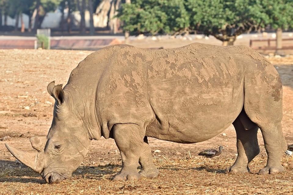 Два белых носорога переехали взоопарк Ростова-на-Дону изИзраиля