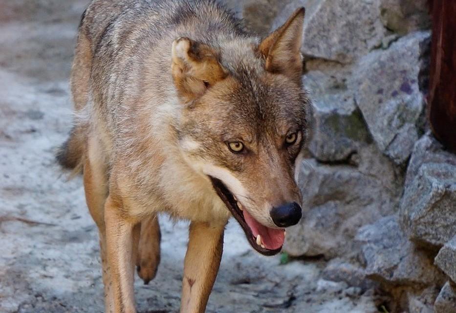 ВСвердловской области разрешен неограниченный отстрел волков