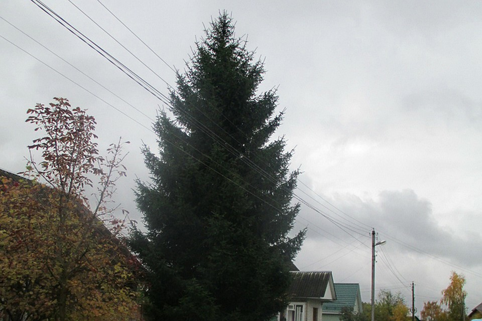 ВБрянск изРадицы-Крыловки доставили главную новогоднюю ёлку