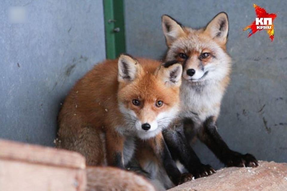 3-х бешеных лис убили охотники вРостовской области