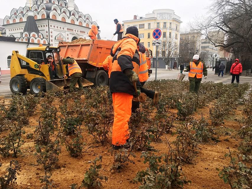 Розы наплощади Чернышевского вСаратове начали утеплять опилками