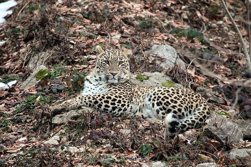 Леопард Виктория, пойманная вАбхазии, вновь выпущена вдикую природу