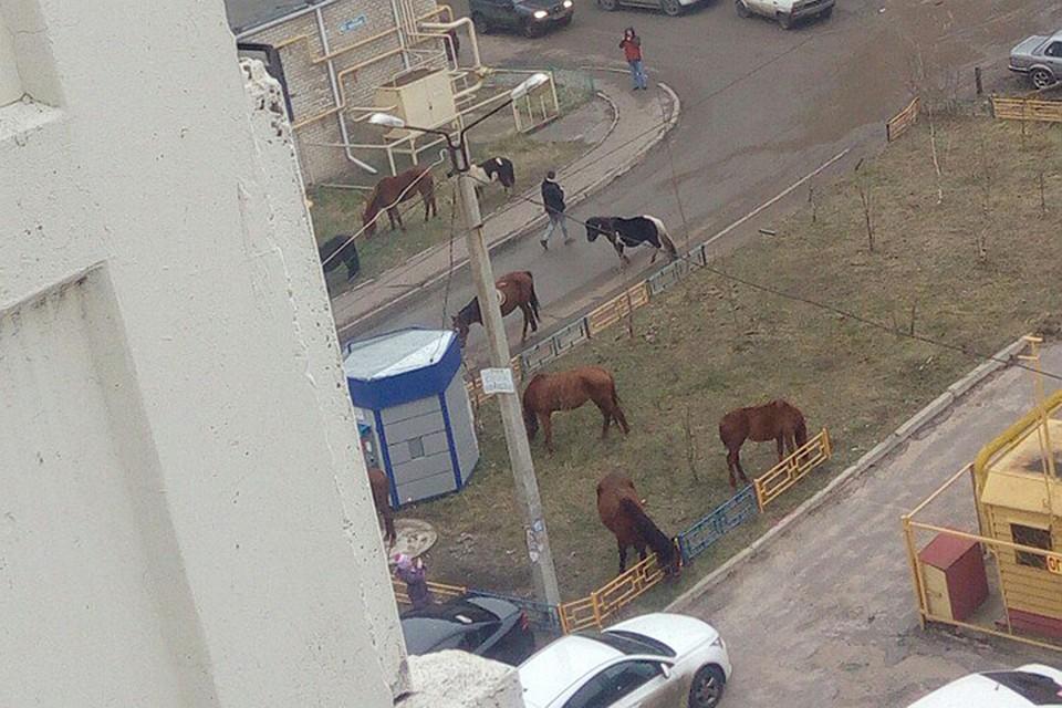 ПоВоронежу разгуливает табун лошадей, сбежавший от нетрезвого владельца