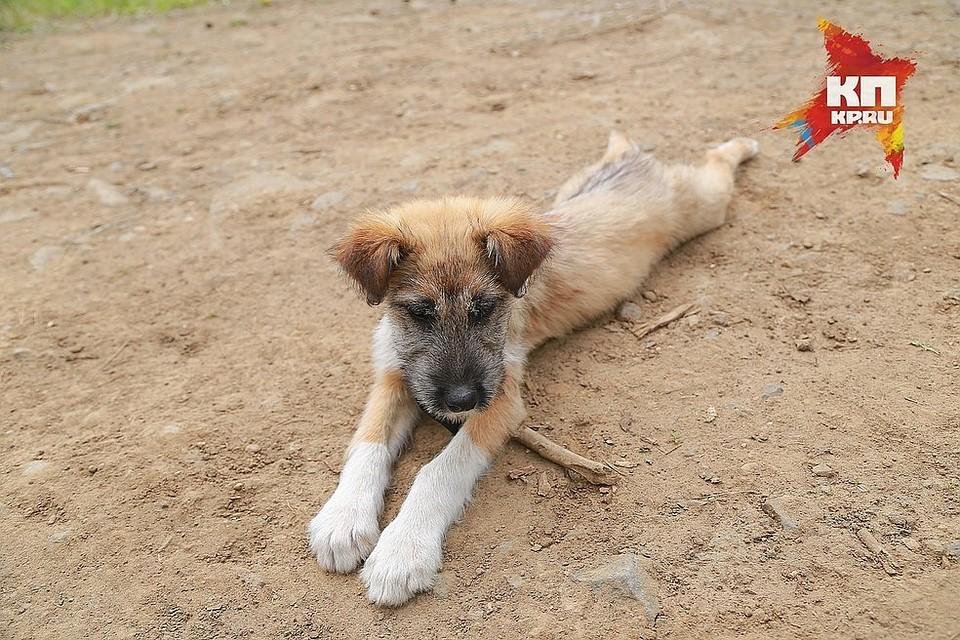 ВКрасноярске могут ужесточить правила отлова бродячих собак