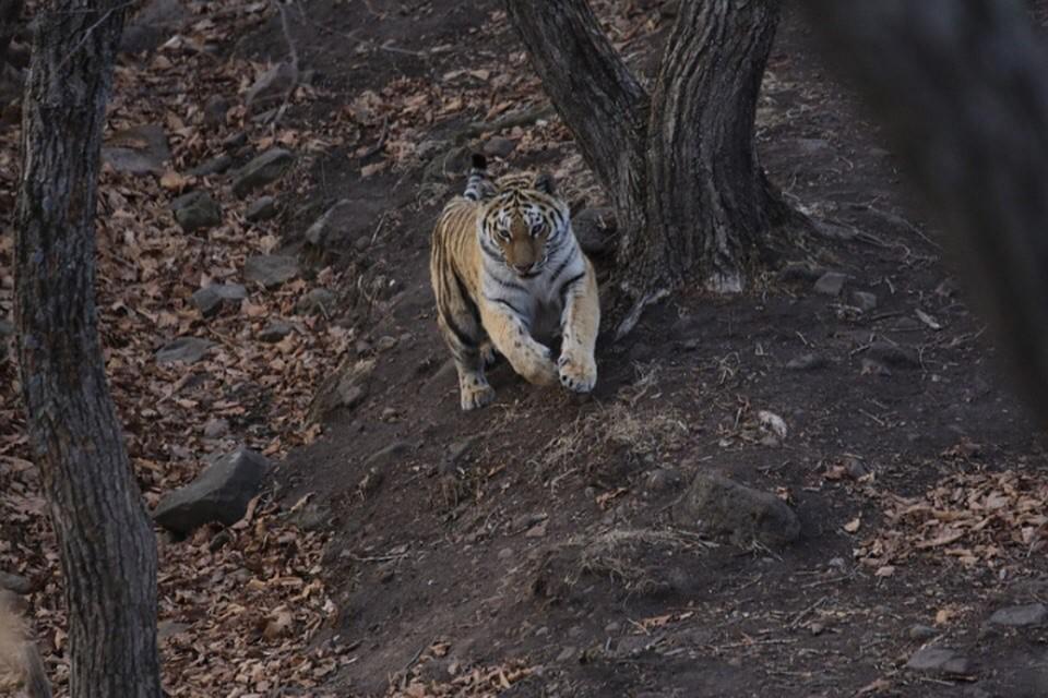 ВХабаровском крае отыскали останки 2-х амурских тигрят