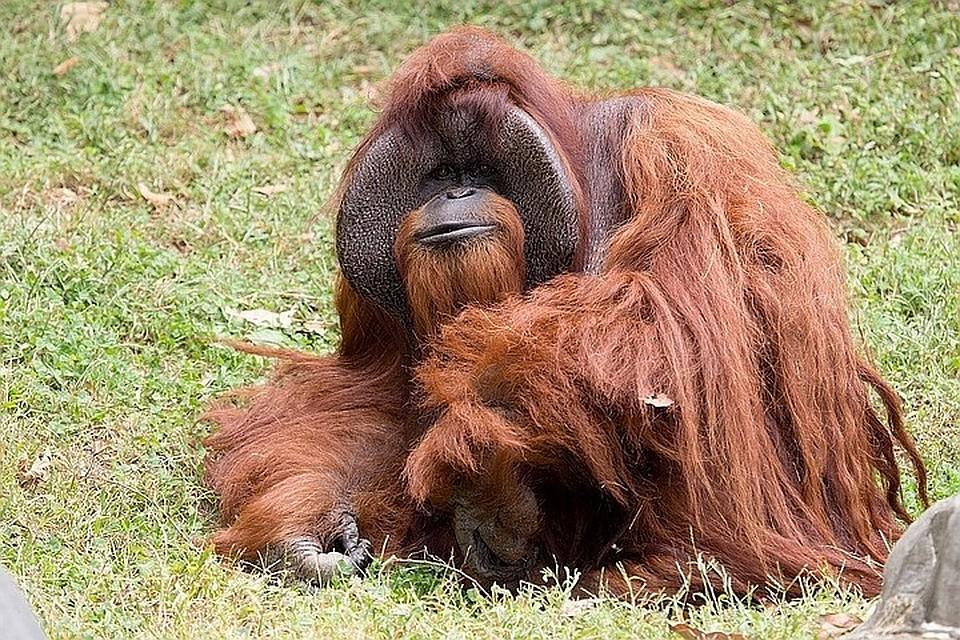 НаБали россиянин накачал снотворным орангутанга ипытался увезти домой