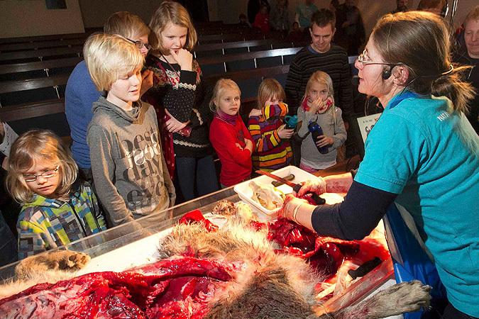 После убийства жирафа в Дании на глазах у детей расчленили волка