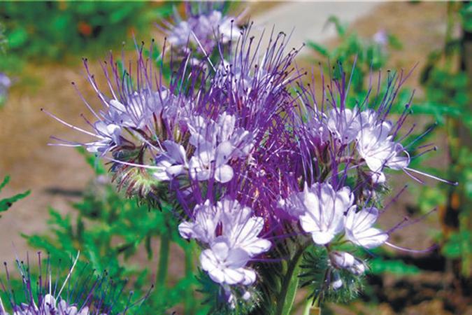 Фацелия - идеальное удобрение для огорода.