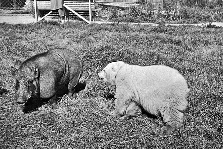 В архиве это фото подписано так: «Белый медведь и бегемот на площадке молодняка. 1 июня 1950 г.». Автор не указан. В каком зоопарке снято - не говорится... Не напоминает ли вам этот черно-белый сюжет красочные репортажи о трогательной дружбе тигра Амура и козла Тимура в Приморском сафари-парке?