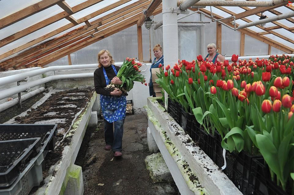 Выращивание тюльпанов в зимней теплице 58