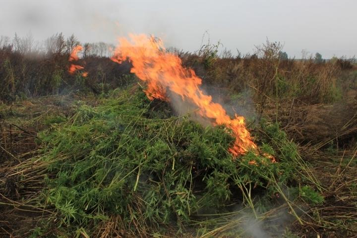 ВКурской области уничтожили 80 гектаров конопли