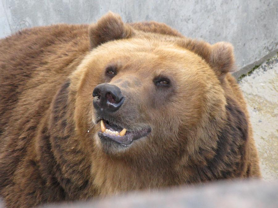 Хозяин осерчал накамеру. Внацпарке «Таганай» медведь напал на видео регистратор