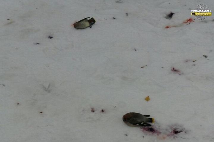 ВНовосибирске погибла стая свиристелей