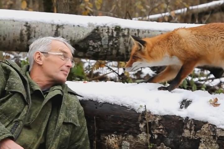 ВВоронежской области сняли навидео прирученного дикого лиса