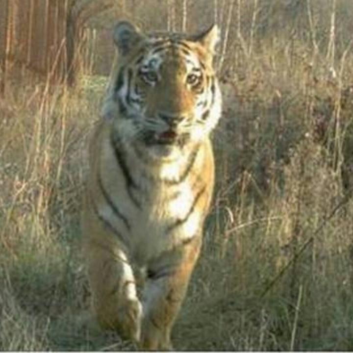 Хулиганившего впригороде Владивостока тигра назвали Владиком