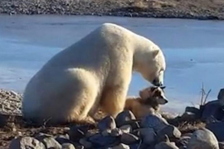Гражданин Канады снял навидео «нежную дружбу» белого медведя ипса