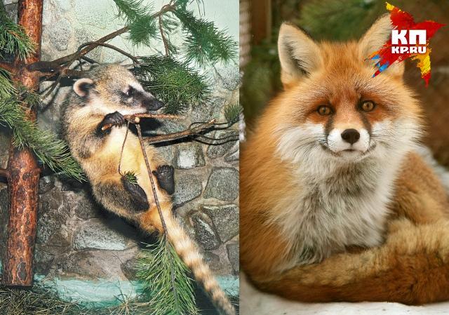 Носуха (слева) и лиса (справа) обрели семью Фото: Зоопарк Екатеринбурга