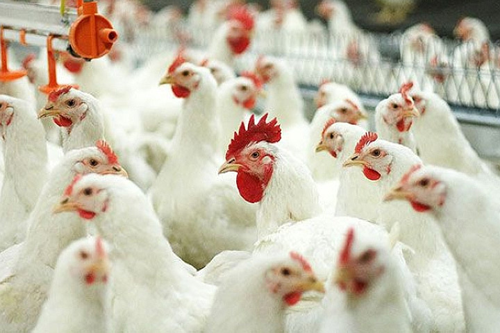 Птичий грипп пока не пришел в Литву. Фото: с сайта agroinfo.com
