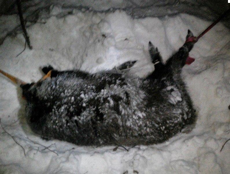 Госинспекторы парка «Самарская Лука» выручили кабана, попавшего вбраконьерскую петлю