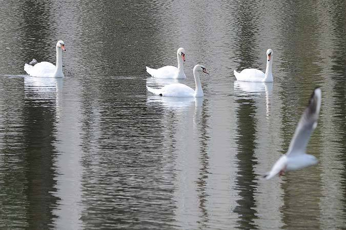 НаКубани жертвами птичьего гриппа стали неменее 130 лебедей
