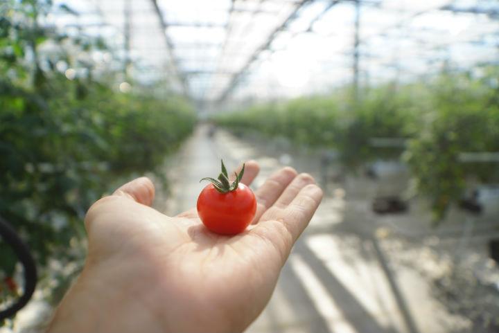 37 тонн томатов смолью непустили вНевский край