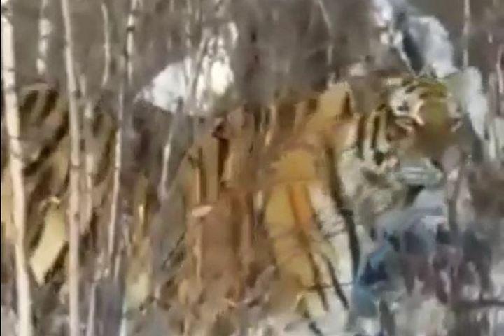 Гражданин Приморья заплатит 9,3 млн. руб. заубийство тигров имедведей