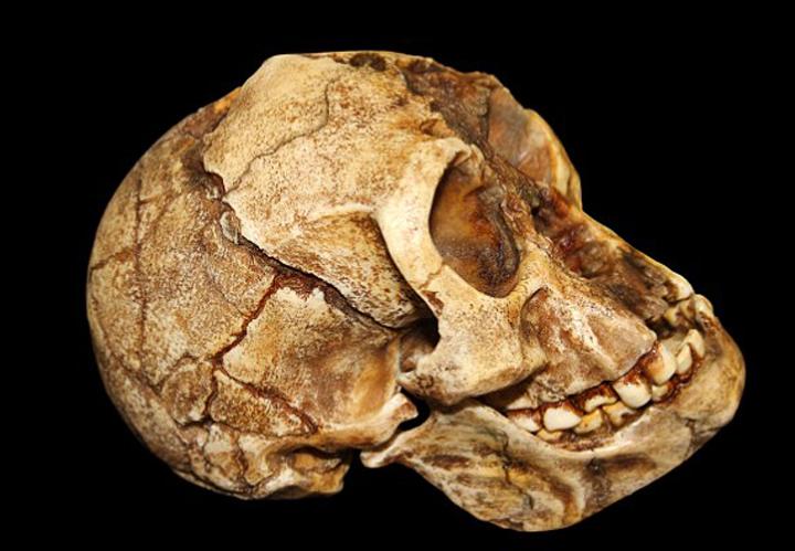 Череп хоббита: в нем помещалось 417 граммов мозга - в три раза меньше, чем у среднего человека нашего вида.