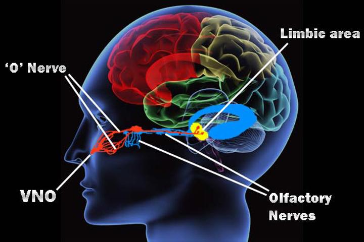 Некоторые медики не исключают, что гриб воздействует посредством феромонов и через вомероназальный орган (VNO).