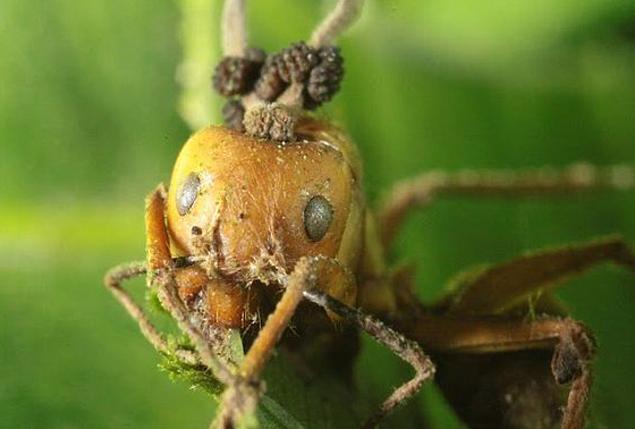 У некоторых муравьев в мозгу прорастают по несколько грибов