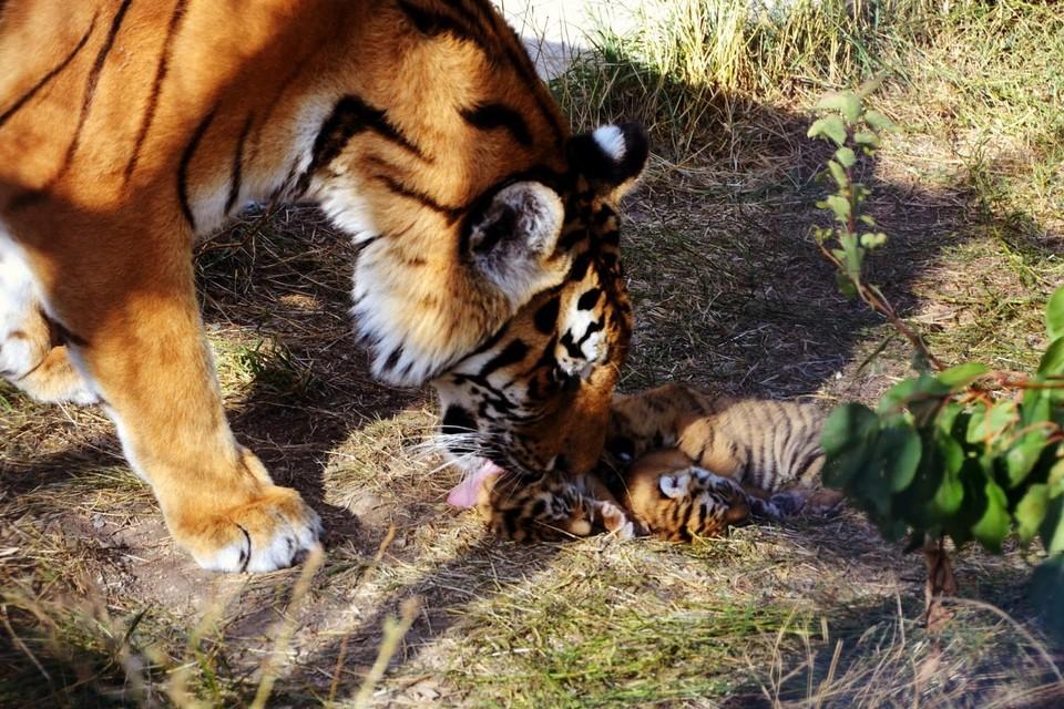 Тигрица Одри - образцовая мама.