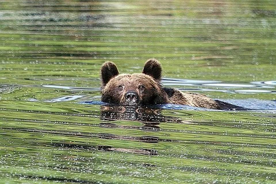 медведь плывет по озеру фото