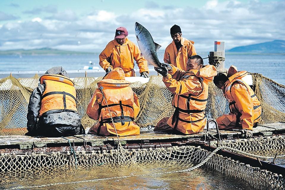 Этот лосось наш, российский. Пойман в акватории Анадырского лимана на Чукотке. А вот когда доберется до прилавка - это вопрос.