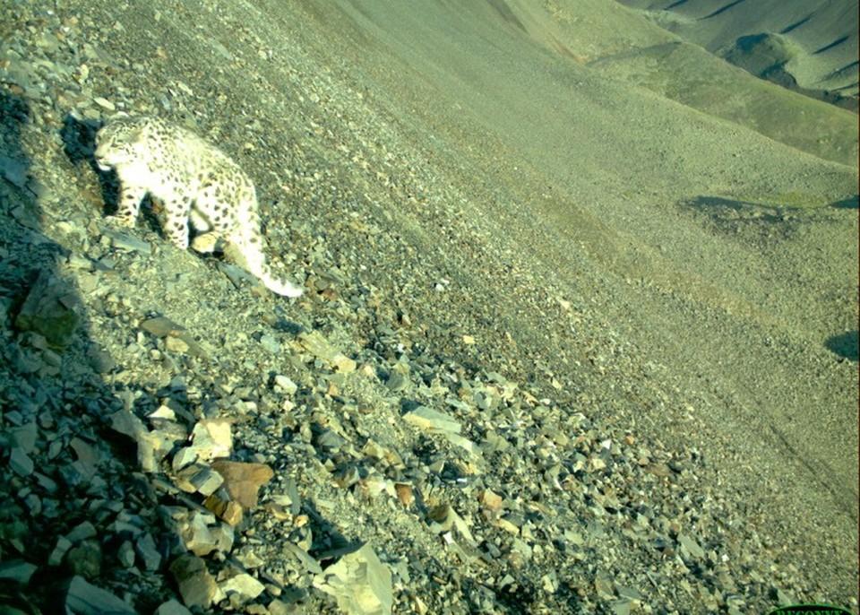 В высокогорье на снежного барса напал матерый волк, пытаясь отнять добычу