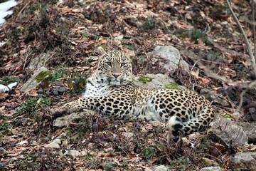 В Сочи леопарда Викторию вновь выпустили на свободу