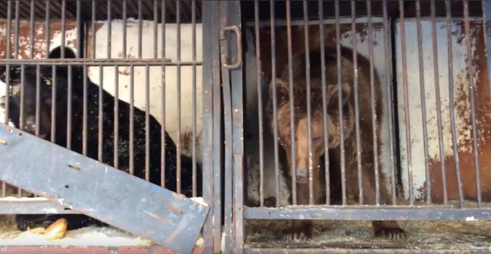 В Самаре на стоянке нашли четырех брошенных медведей в клетке