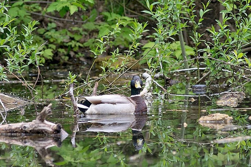 В пруду обитало немало живности - его облюбовали дикие утки