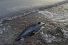 Вспоротое брюхо, отрезанные плавники: Дельфины в Черном и Азовском морях гибнут из-за браконьеров